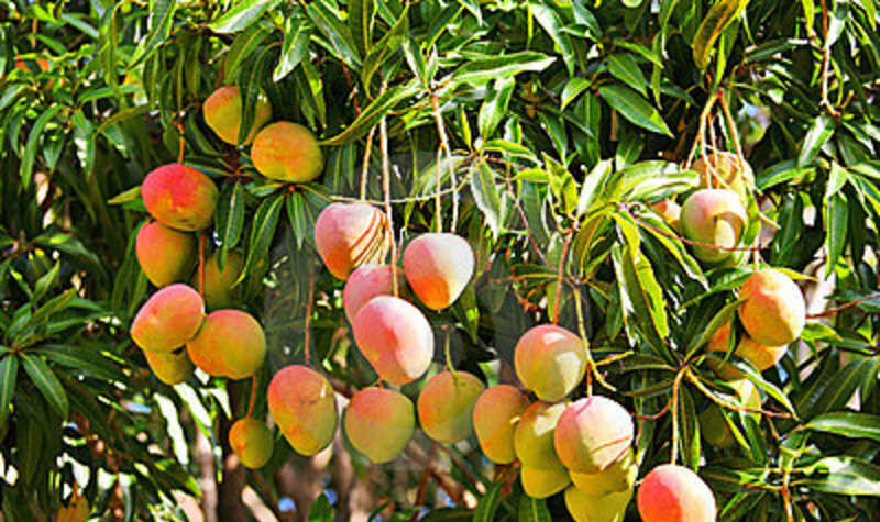 journey to the mango tree With love from brazil: the mango's journey to britain once a rare tropical treat, mangoes are now a fixture in british fruit aisles  purple reign: mango trees at a farm in the state of.