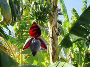 banana_tree